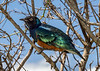 Superb starling (Lamprotonic superbus) perched in a bush, Ngorongoro Caldera, Tanzania