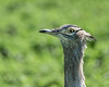Portrait of a Kori bustard (Ardeotis kori) wih flies on beak, Ngorongoro caldera, Tanzania