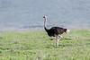 Male ostrich (Struthio camelus) moving across Ngorongoro caldera  with the caldera rim in back, Tanzania