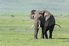 Large elephant with nice turks and flared ears, wet lower half, Ngorongoro caldera, Tanzania