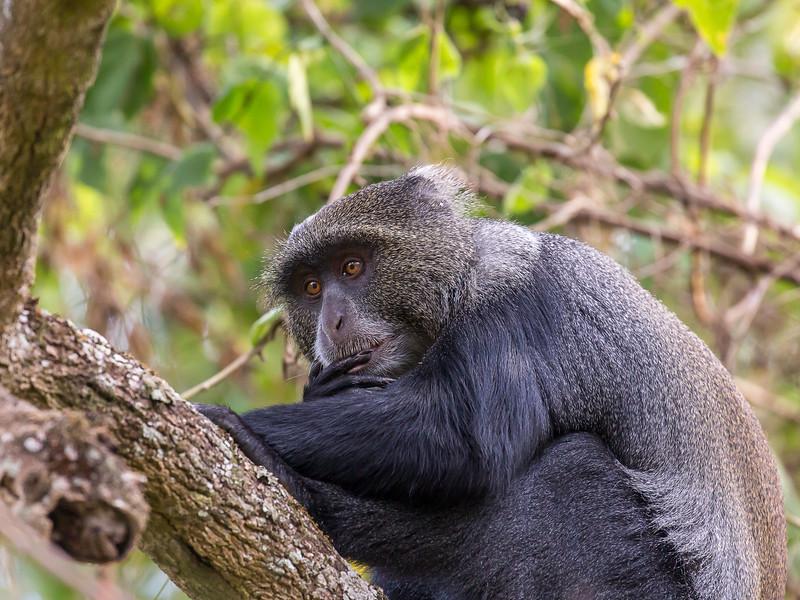 Blue Monkey / Diademed Monkey