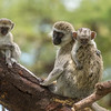 Vervet Monkey family