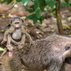 Baby on Board 2 - Baboon