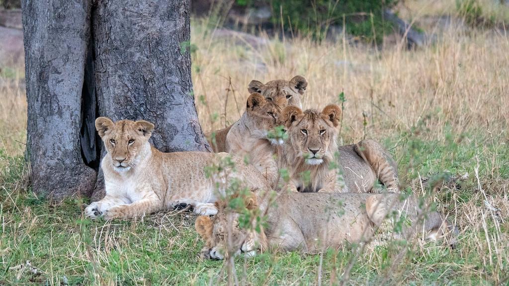 Best Safari in Tanzania: Group of lions at Serengeti National Park