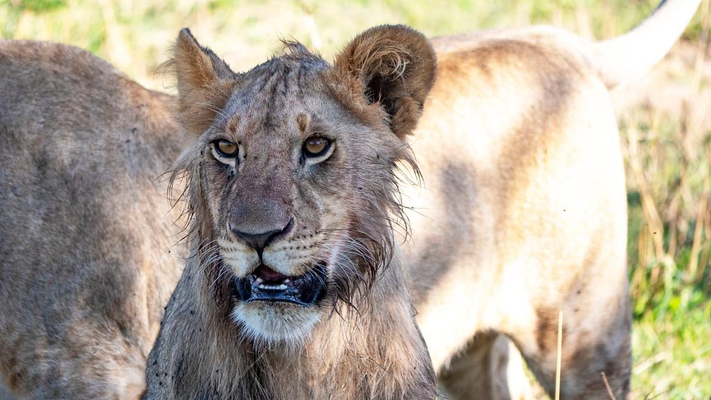 Best Safari in Tanzania: Lion at Serengeti National Park