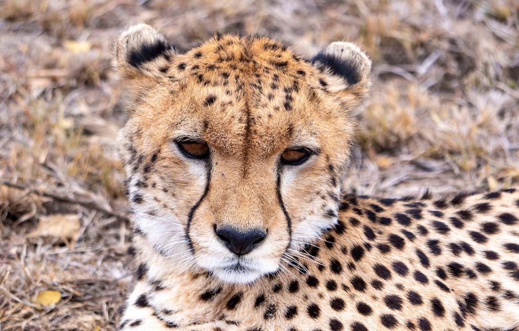 African Safari in Tanzania: Cheetah at Serengeti National Park