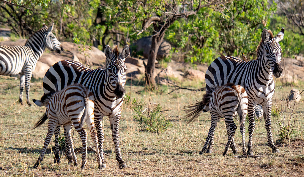 Tanzania Safari: Two nursing zebras at Serengeti National Park