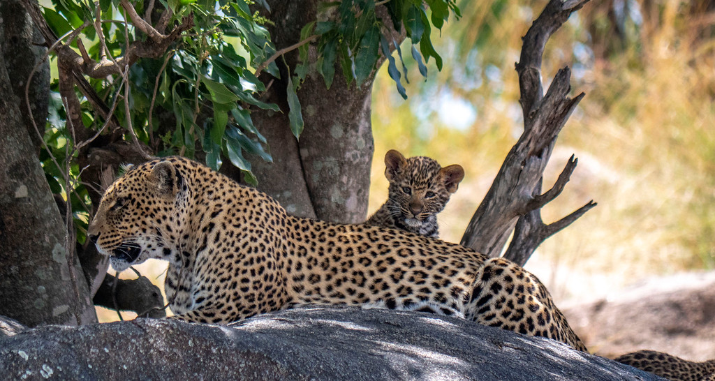 Luxury Safaris: Mom and baby leopard at Serengeti National Park Tanzania