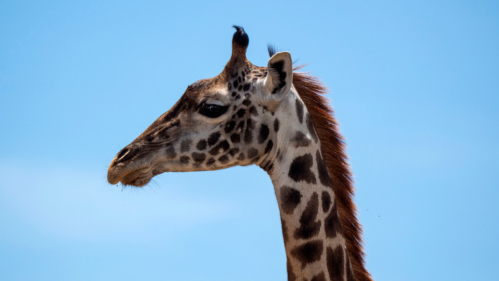 Luxury Safari in Tanzania: Giraffe at Serengeti National Park