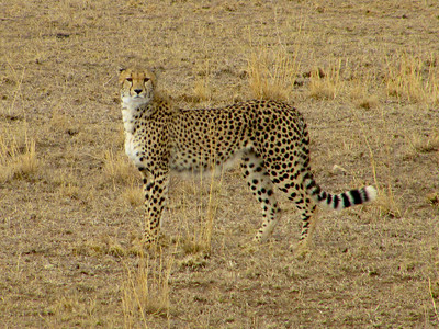 This is one of three cheetahs that was warily observing a hyena in the distance.  She is looking straight through me at the interloper beyond.  While the shot looks as if I'm stupidly standing in the grass a few feet away, rest assured I was safe in the land rover.