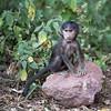 Baby Baboon - Tanzania