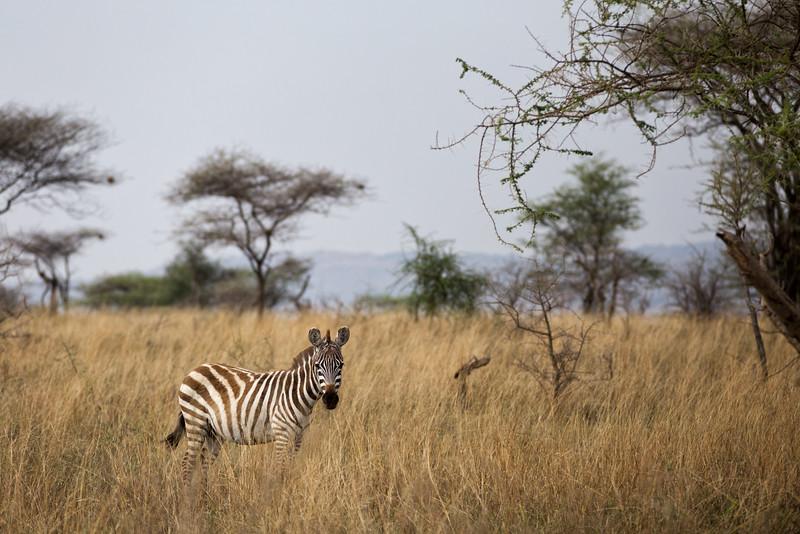 Zebra in the Serengeti - Tanzania