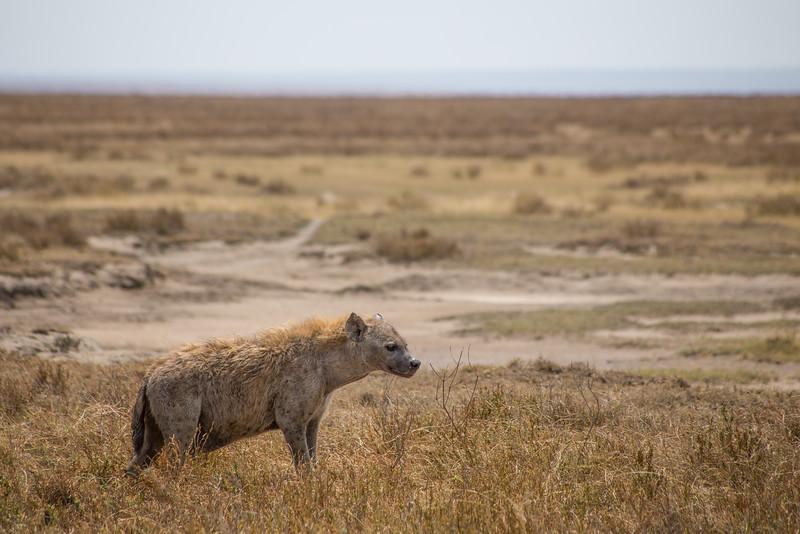 Serengeti Hyena - Tanzania