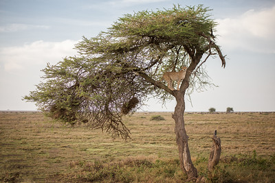 Cheetah on a tree - Tanzania
