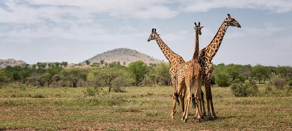 Posing Giraffes - Tanzania