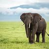 Ngorongoro elephant - Tanzania