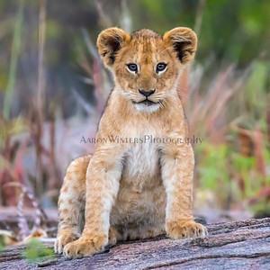 A Cub On The Kopjes