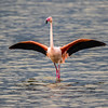 Full Flamingo