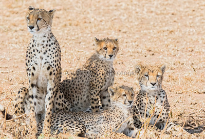 Cheetah Clan