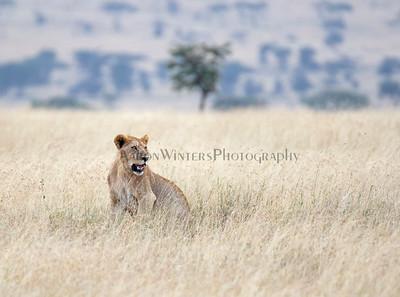 A Plain Lion