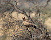 Tawny Eagle On A Branch