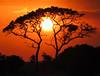 An Acacianal Sunset