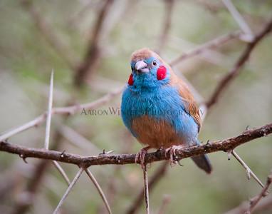 Blue Bird With Muffs