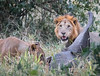 The Lions Banquet