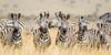 Zebra In A Row