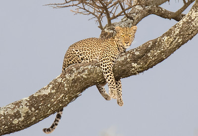 Cat On A Limb