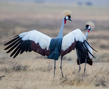 Dancing Crown Cranes