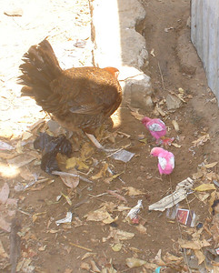 Chicks are dyed pink so chicken hawks can't see them. Does it work? Well, the chicks are still alive!