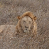 Lion Serengeti-32.jpg