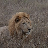 Lion Serengeti-73.jpg