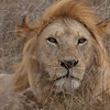 Lion Serengeti-31.jpg