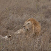 Lion Serengeti-35.jpg