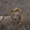 Lion Serengeti-75.jpg