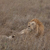 Lion Serengeti-34.jpg