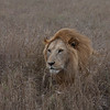 Lion Serengeti-67.jpg
