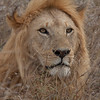 Lion Serengeti-30.jpg