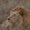 Lion Serengeti-37.jpg