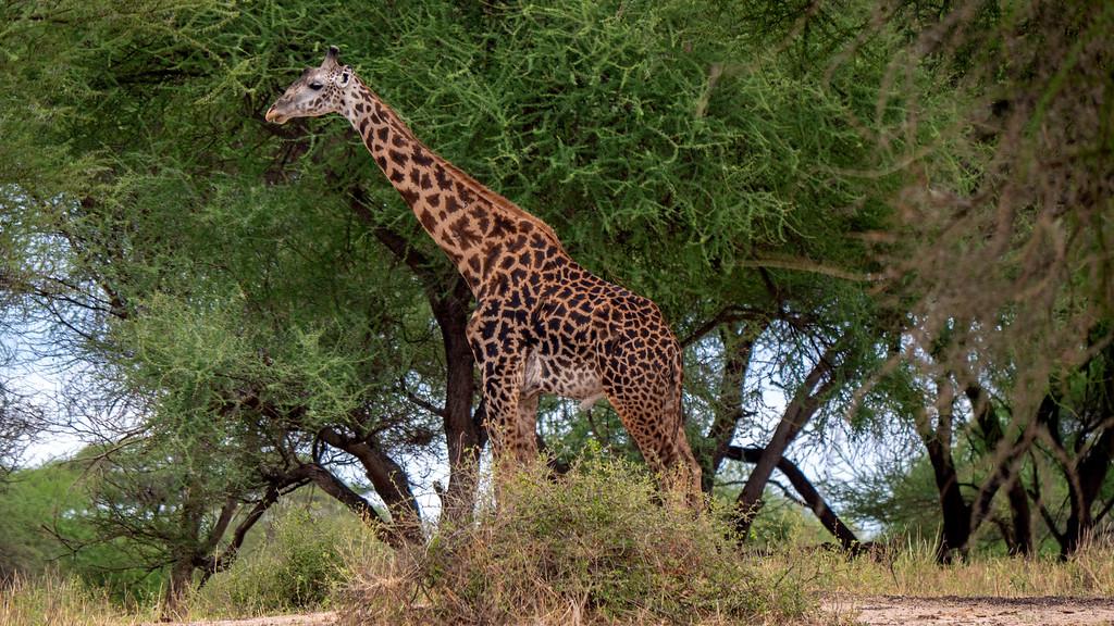African Safari in Tanzania: Giraffe at Tarangire National Park
