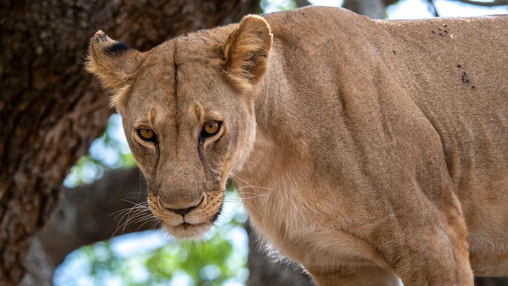 Luxury Safari in Tanzania: Lion at Tarangire National Park