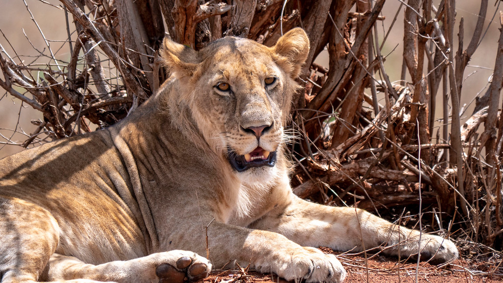 Luxury African Safari Tours: Lion in Tarangire National Park