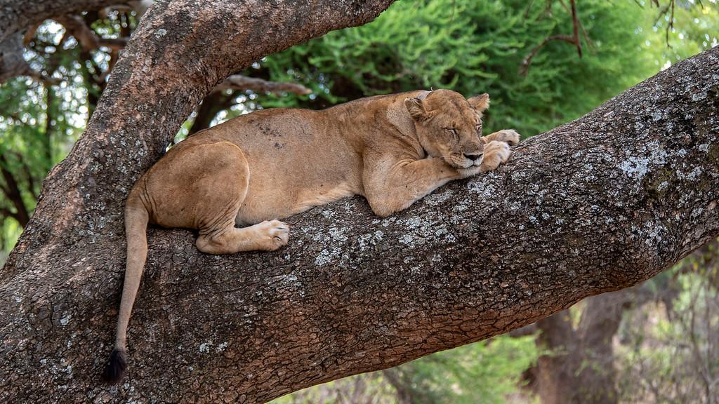 Lions sleeping in the trees at Tarangire National Park - Tanzania luxury safari