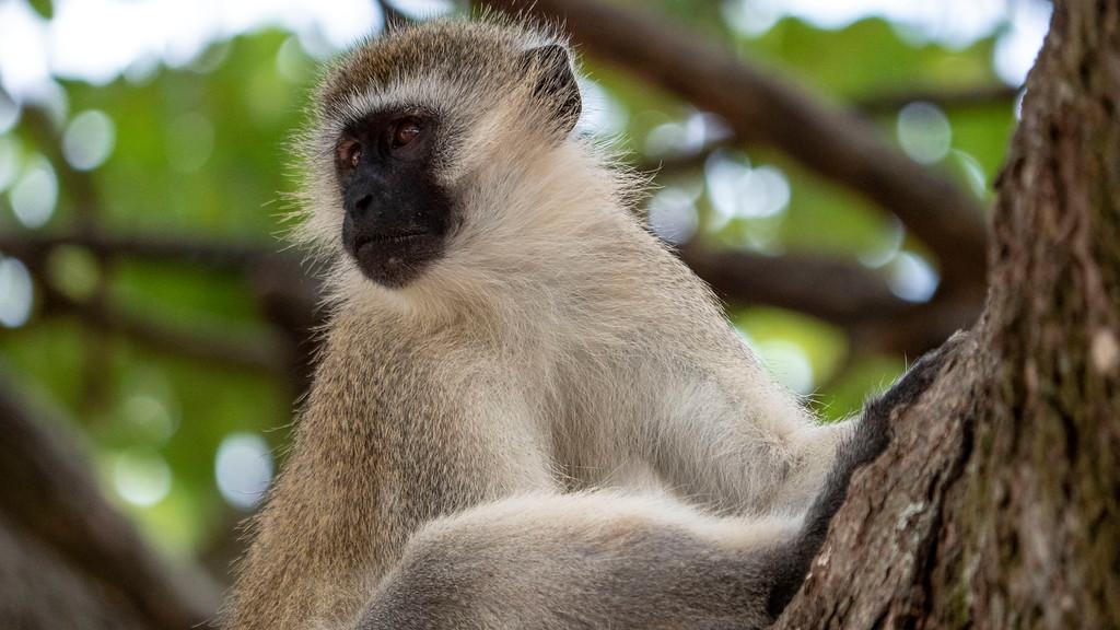 Tanzania Safari: Vervet Monkey at Tarangire National Park