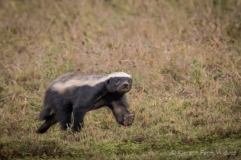 Honey badger, on the way to Ndutu, Tanzania, Kjerstin Ferm Widlund, Feb 2014