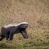 Honey badger, on the way to Ndutu, Tanzania, Kjerstin Ferm Widlund, Feb 2014