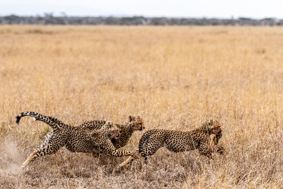 Cheetah brothers chasing other brother with rabbit in Serengeti National Park