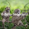 Acrobatic Baboons, Ngorongoro